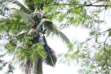 Unbelievable: See the Man Who Spent 3 Whole Years Living On Top a 60-Foot Coconut Tree (Photos)