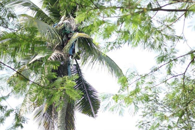 Gilbert Sanchez Coconut Tree