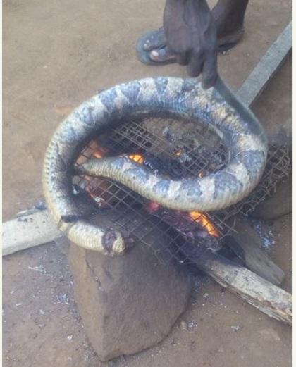 Snake Big 3