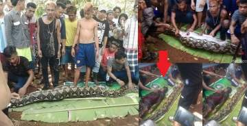 Shock as Missing woman was found inside a python (video)