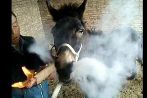 Donkey Smokes Giant Cigarette Held By Owner