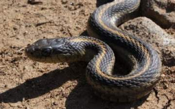 Snake Smugglers Disappear From Custody In Calabar
