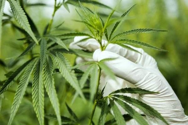 Cannabis Plant E1542176244855