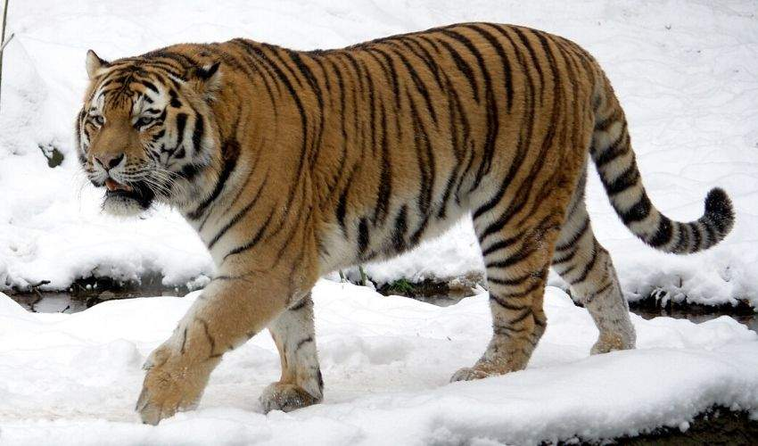 Siberian Tiger Appropriate Living