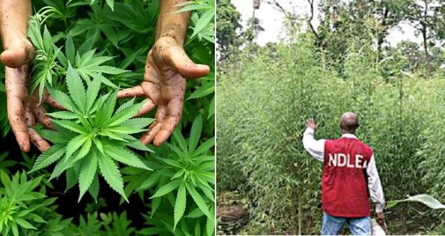 Indian Hemp Cannabis Sativa?resize=640%2C340