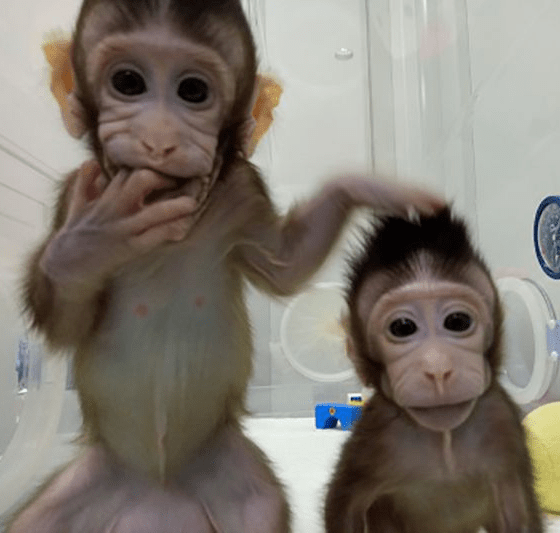 Chinese Scientists Clone Monkeys?resize=560%2C533