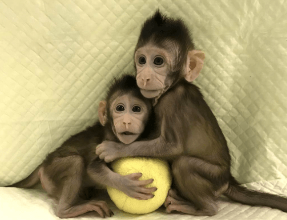 Chinese Scientists Clone Monkeys1?resize=580%2C445