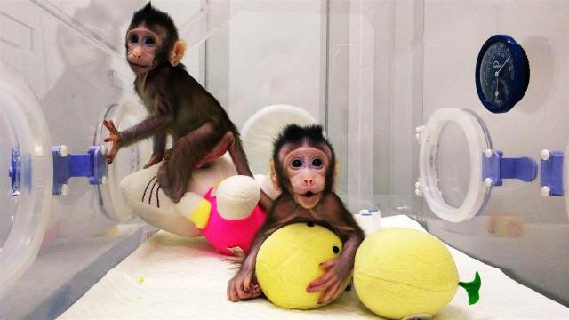 Chinese Scientists Clone Monkeys2?resize=640%2C360