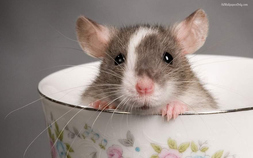 Cute Pet Rats 13__880
